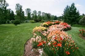 asiatic lilies asiatic lilies st albert botanic park