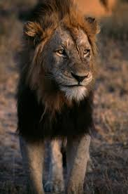 hunters bagged 10 000 lions in africa since 2003 trophy data show