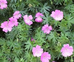 Late Blooming Perennials Best 25 Perennial Geranium Ideas On Pinterest Wild Geranium