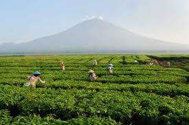 Teh Kayu Aro kedai lokalti kebun teh terluas di dunia ada di indonesia