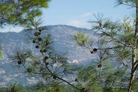 list several plants native to south america 40 pine trees from around the world