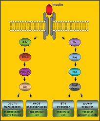 effects of insulin resistance on endothelial progenitor cells and