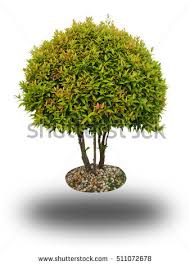 small tree isolated stock images royalty free images vectors