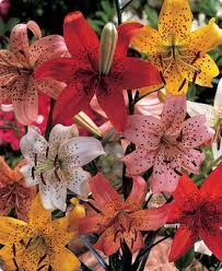 Lilies Flower Tiger Lily Flower Bulbs Spring Flower Bulbs Urban Farmer