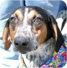 bluetick coonhound fun facts eddie adopted dog 586 cincinnati oh greyhound bluetick