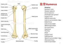Supraglenoid Tubercle Bones