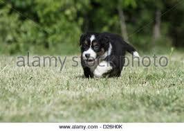 running with australian shepherd puppy australian shepherd pup running on lawn in garden stock photo