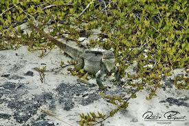 iguana island outdoors