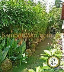 Bamboo Backyard Bamboo Plants For Hedging U0026 Fence Screening Bambooman