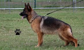 belgian shepherd 6 months zera dei cimmeri