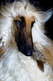 afghan hound mandarin 1264 best awesome art images on pinterest horses horse art and