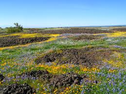tundra native plants dfg offers wildflower tours of north table mountain ecological