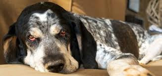 bluetick coonhound names get to know the american english coonhound an all american hunter