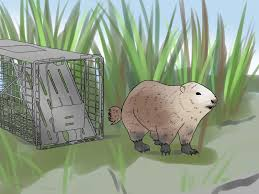 how to trap a groundhog 12 steps with pictures wikihow