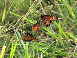 queen monarch caterpillars and butterflies how to tell the