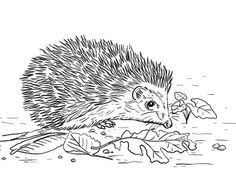 animal drawings coloring pages hedgehog animal identification