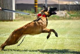 belgian malinois k9 attack life lessons learned from an attack dog sofrep