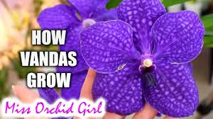 vanda orchids growth stages of vanda orchids what you should about your