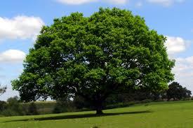 oak tree stoney cross plain new forest jim chion cc by sa
