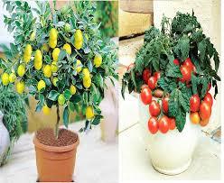 Tomato Tree Variety House Lemon Tree Seeds Hybrid Cherry Tomato Seeds