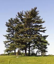 white pine tree pinus strobus