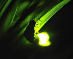 How Do Fireflies Light Up 124 Best U2022 U2022fireflies U2022 U2022 Images On Pinterest Fireflies