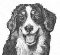australian shepherd underbite shalako australian shepherd illustrated breed