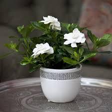 flower plants buy top 5 jasmine flowering plants online at nursery live best