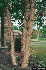meet a tree meet the river birch betula nigra