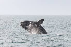 sharp decline in birth rates for endangered right whales has