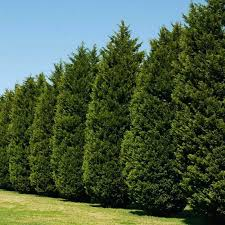 privacy fence trees shrubs bushes cypress cypress tree home screen