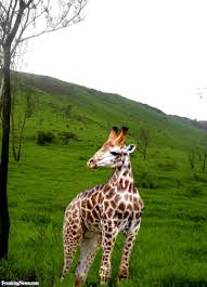 giraffe with a short neck pictures