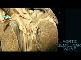 Sheep Heart Anatomy Quiz Ap2 Heart Anatomy Quiz Aortic Semilunar Valve In Cow Avi Youtube