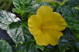 which state has a hibiscus hibiscus gul har flower and garden
