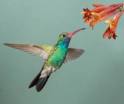 Hummingbird On A Flower - hummingbird tongues act like tiny pumps