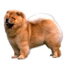 american eskimo dog vs pomeranian compare chow chow vs pomeranian difference between chow chow and