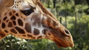giraffes face extinction as their numbers decline rapidly due to