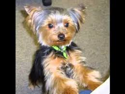 haircuts for yorkies yorkie hair cuts youtube