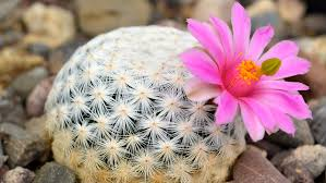 new mexico native plants the cactus smuggler are desert plants being loved to extinction