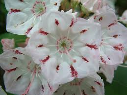 connecticut native plants mountain laurel pennsylvania and connecticut state flower