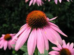 Echinacea Flower Echinacea Flower Closeup Free Photo Files 1460429 Freeimages Com
