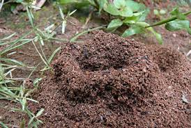 understanding a fire ant colony