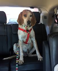 bluetick coonhound breeders ohio view ad english coonhound dog for adoption ontario ontario usa