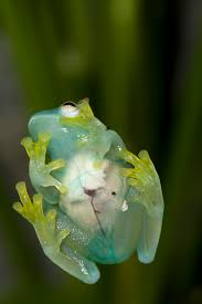 you can see the internal organs of glass frogs through their