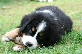 commercials with australian shepherds free images grass puppy close snout dog breed australian