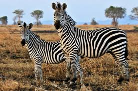 pattern formation zebra simen kvaal how the zebra got its stripes alan turing and pattern