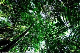 canap amazon canap tress with canap tress great forest canopy height is also