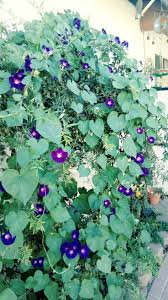 best 25 morning glory plant ideas on pinterest blue morning