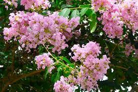 basham s pink 30 fastest growing pink tree