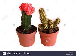 ornamental cactus in plant pots stock photo royalty free image